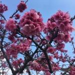 観光で名護桜まつり(八重岳)へ行ったときのお話