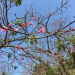 名護城跡地にて桜祭り プロ野球キャンプ 開始